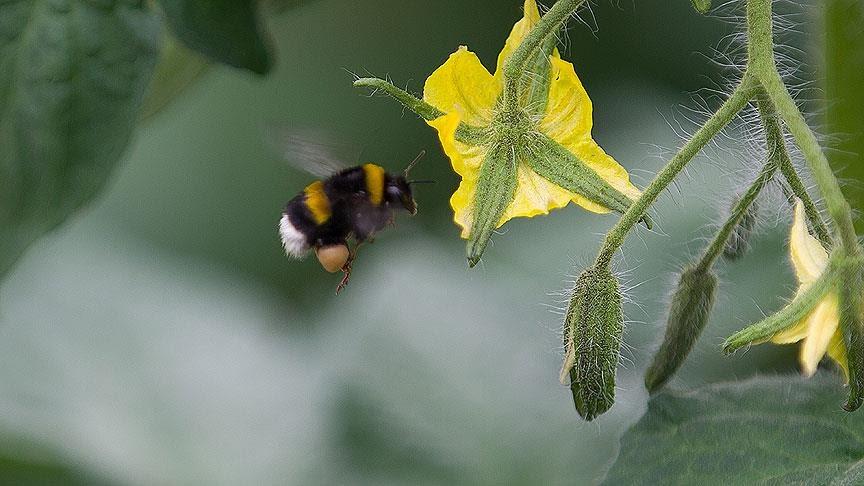 bombus arı
