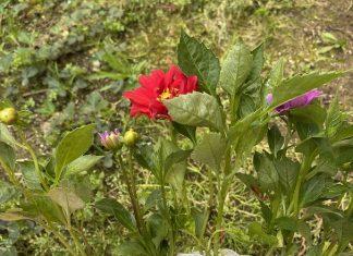 yıldız çiçeği fidesi